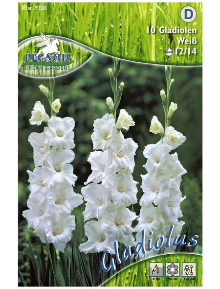 PEGASUS Blumenzwiebel Schwertblume, Gladiolus Hybrida, Blütenfarbe: weiß