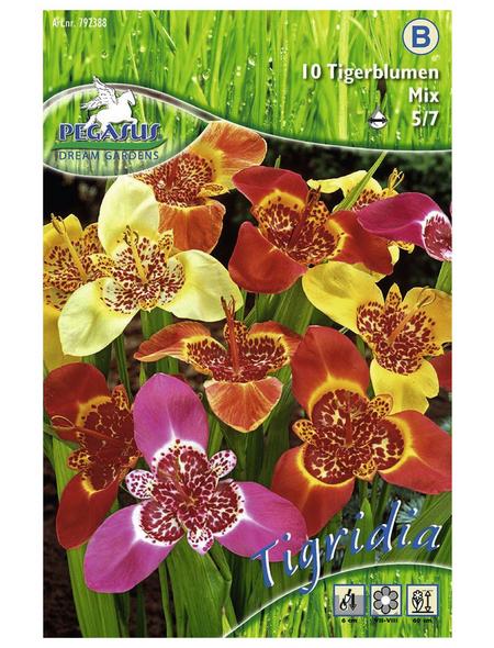 PEGASUS Blumenzwiebel Tigerblume, Tigridia pavonia, Blütenfarbe: mehrfarbig