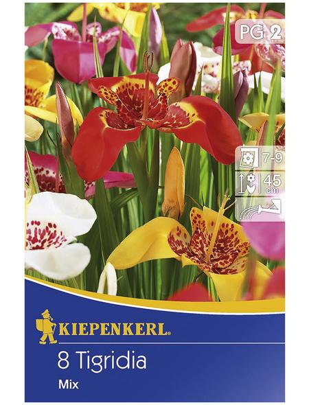 KIEPENKERL Blumenzwiebel Tigerblume, Tigridia pavonia, Blütenfarbe: mehrfarbig