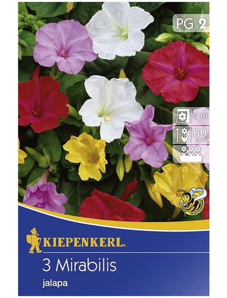KIEPENKERL Blumenzwiebel Wunderblume, Mirabilis jalapa, Blütenfarbe: mehrfarbig