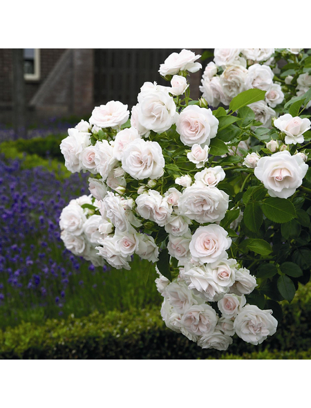 ROSEN TANTAU Bodendeckerrose Rosa hybride »Aspirin«