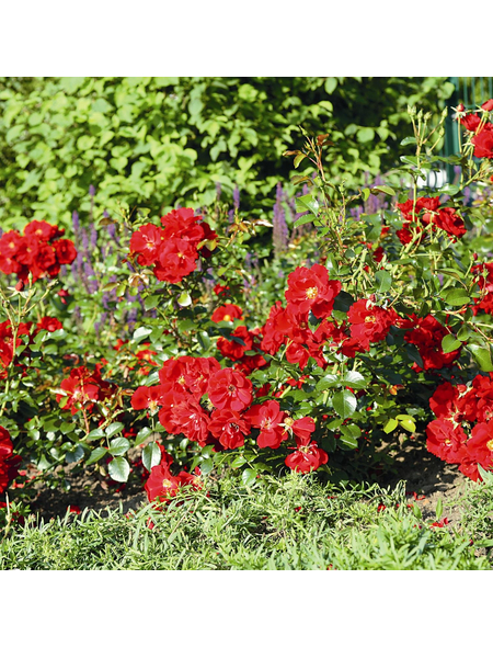 ROSEN TANTAU Bodendeckerrose Rosa hybride »Matador«