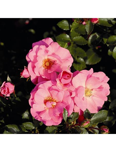 ROSEN TANTAU Bodendeckerrose Rosa hybride »Mirato«