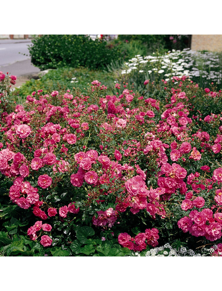 ROSEN TANTAU Bodendeckerrose Rosa X hybride »Mirato«, Rosa/pink