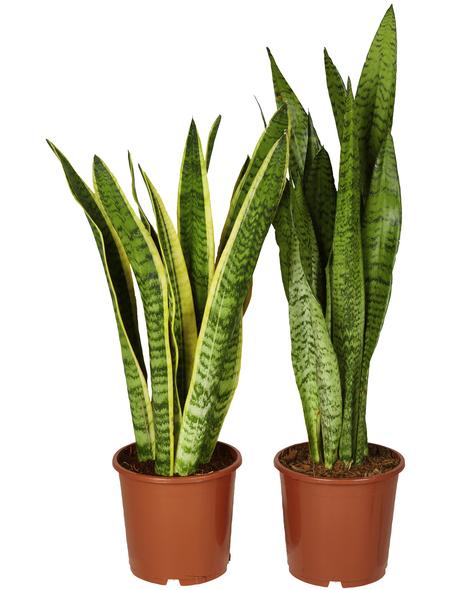 GARTENKRONE Bogenhanf Sanseveria hybrid