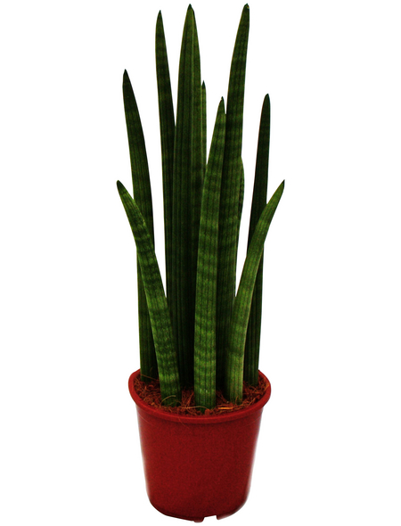 Bogenhanf Sansevieria cylindrica