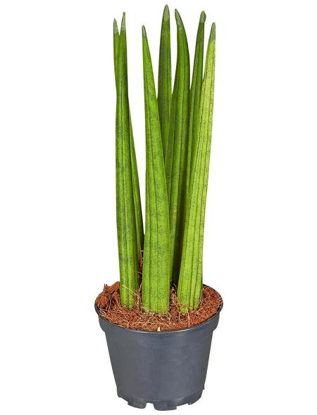 GARTENKRONE Bogenhanf Sansevieria hybrid 10 cm
