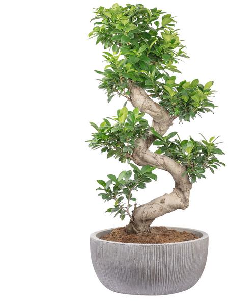 Bonsai Feige Ficus  microcarpa »Ginseng Fuji«
