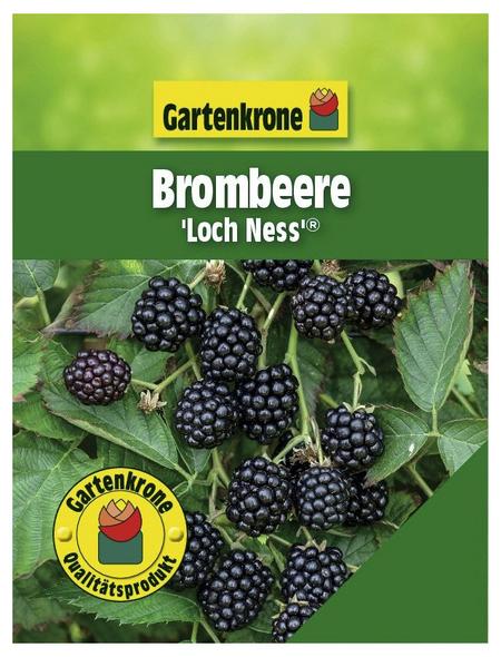 GARTENKRONE Brombeere Rubus fruticosus »Loch Ness -S-«