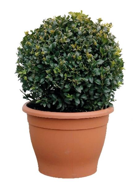Buchsbaum, Buxus sempervirens »Arborescens«, Blattfarbe dunkelgrün