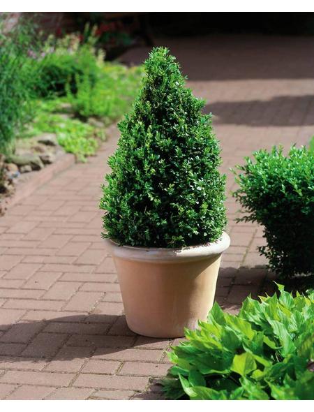 Buchsbaum, Buxus sempervirens Arborescens, Blütenfarbe grün/gelb
