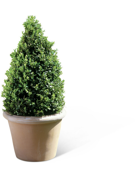 Buchsbaum, Buxus sempervirens arborescens, Blütenfarbe hellgrün