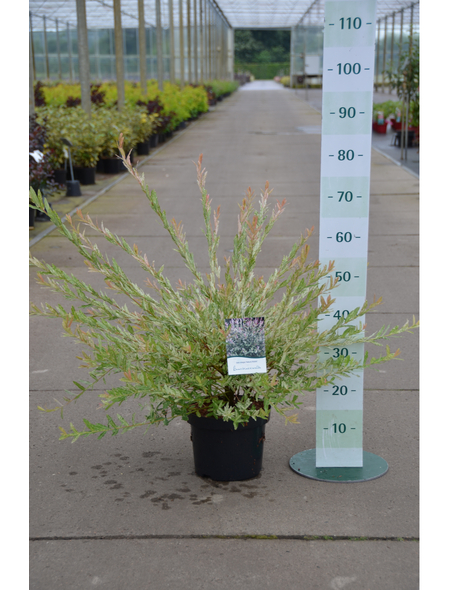 GARTENKRONE Buntblattweide, Salix integra »Hakuro Nishiki«, Blattfarbe mehrfarbig