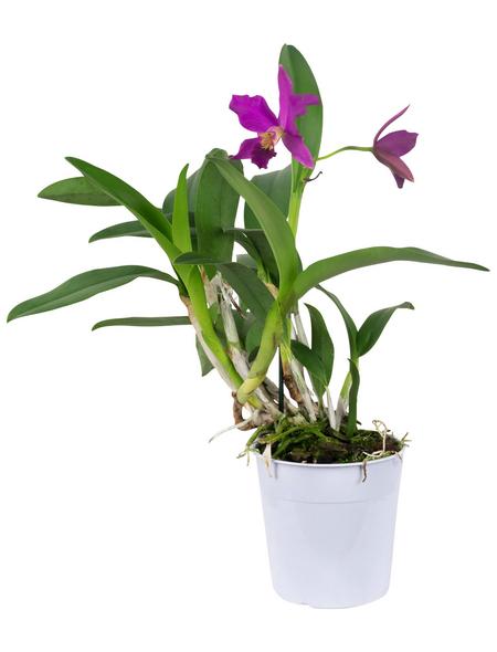 Cattleya-Orchidee, Cattleya, Blütenfarbe: mehrfarbig
