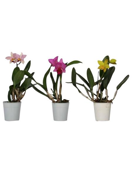 Cattleya-Orchidee, Cattleya Hybriden, Blüte: gemischt