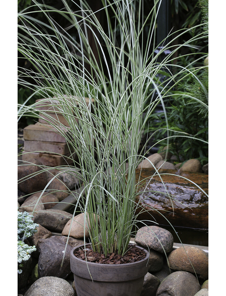 China-Schilf, Miscanthus sinensis »Morning Light«, aktuelle Pflanzenhöhe: 30-40 cm, grün