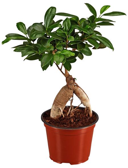 GARTENKRONE Chinesische Feige Ficus microcarpa »Ginseng«