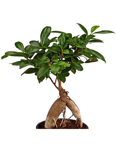 GARTENKRONE Chinesische Feige/Lorbeerfeige Ficus microcarpa 'Ginseng' 25 cm
