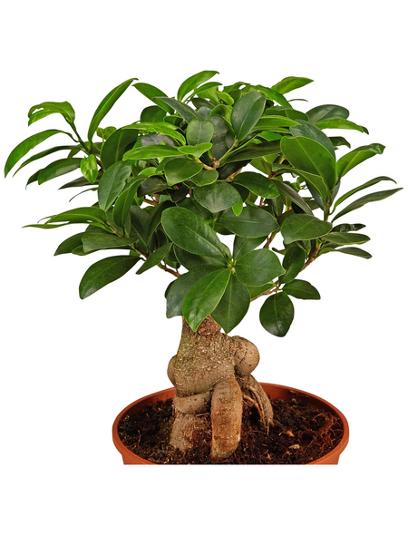 GARTENKRONE Chinesische Feige/Lorbeerfeige Ficus microcarpa 'Ginseng' 50 cm