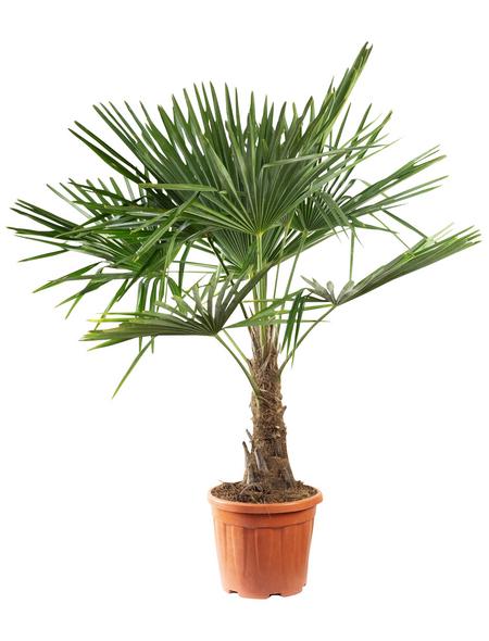 Chinesische Hanfpalme Fortunei Trachycarpus