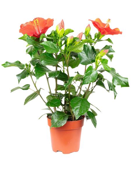 Chinesischer Roseneibisch, Hibiscus rosa senensis »longlife«, Blüte: rot
