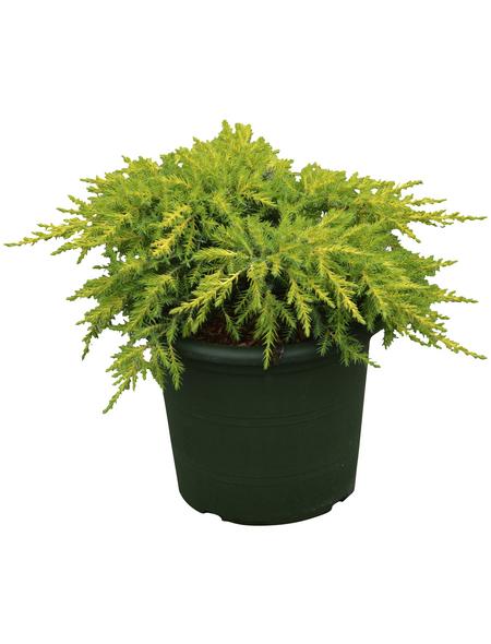 Chinesischer Wacholder chinensis Juniperus »Daub's Frosted«