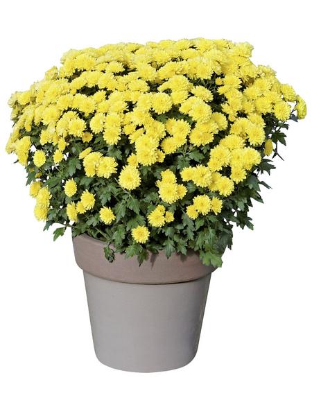 Chrysantheme, Chrysanthemum indicum, max. Wuchshöhe: 100 cm, Blüte: mehrfarbig