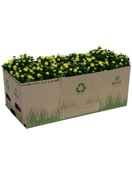 Chrysantheme, Chrysanthemum indicum, max. Wuchshöhe: 35 cm, Blüte: gelb