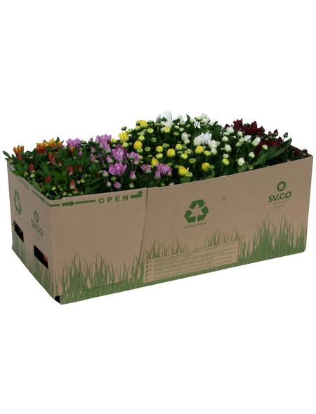 Chrysantheme, Chrysanthemum indicum, max. Wuchshöhe: 35 cm, Blüte: mehrfarbig