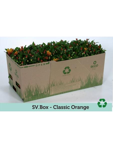 Chrysantheme, Chrysanthemum indicum, max. Wuchshöhe: 35 cm, Blüte: orange