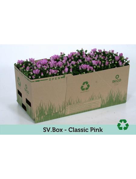 Chrysantheme, Chrysanthemum indicum, max. Wuchshöhe: 35 cm, Blüte: rosa