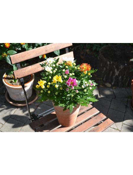 Chrysantheme, Dedranthema Hybriden »Rock ´n Roll«, Blüte: mehrfarbig