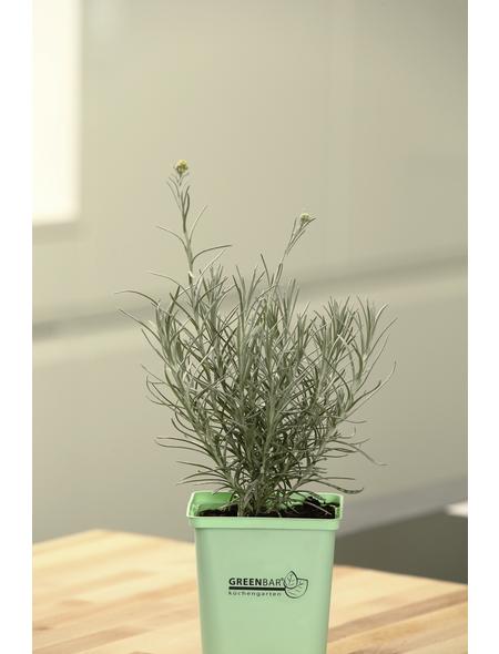 GREENBAR Currykraut 3er Set, Helichrysum Italicum, Blütenfarbe: gelb