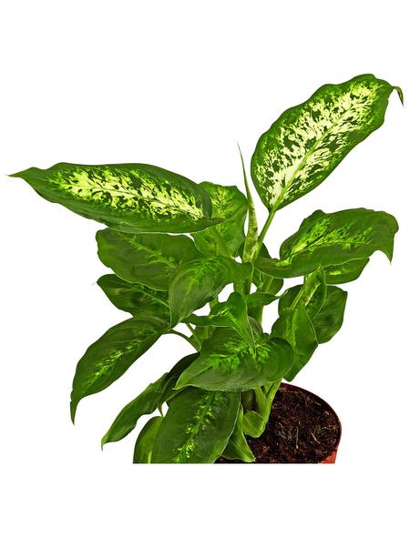 GARTENKRONE Dieffenbachie, Dieffenbachia maculata »in Sorten«, im Kunststoff-Kulturtopf