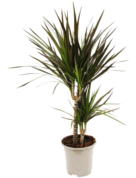 Drachenbaum 3er Set Dracaena marginata