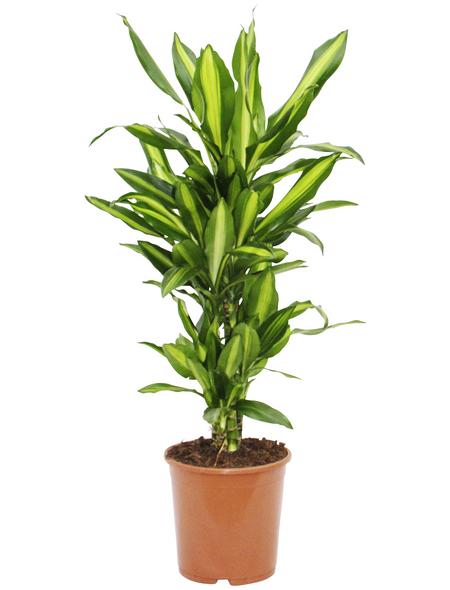 Drachenbaum Dracaena fragrans »Cintho«