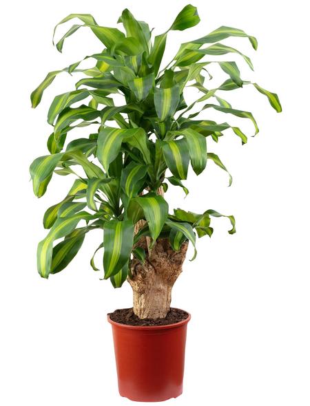 Drachenbaum Dracaena fragrans »Massangeana«