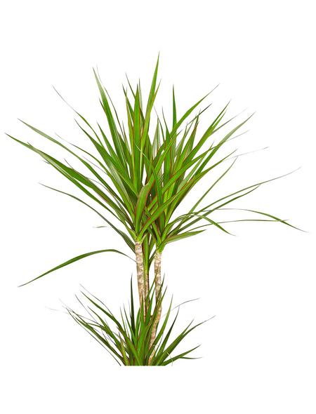 GARTENKRONE Drachenbaum, Dracaena Marginata