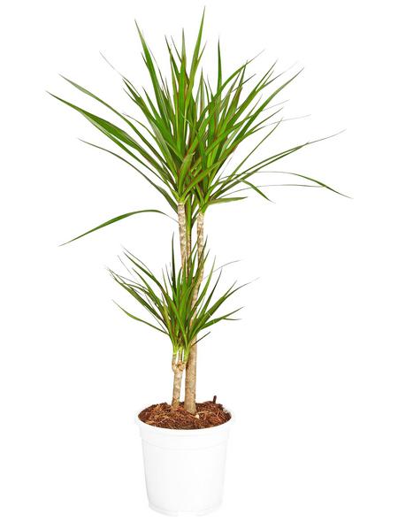 GARTENKRONE Drachenbaum, Dracaena marginata, im Kunststoff-Kulturtopf