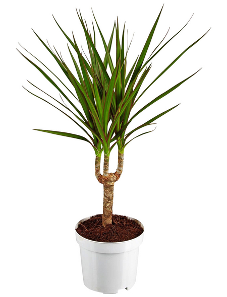 GARTENKRONE Drachenbaum, Dracaena Marginata, Topf-Ø: 11cm