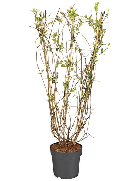 GARTENKRONE Duftgeißblatt, Lonicera heckrottii, zweifarbig, winterhart