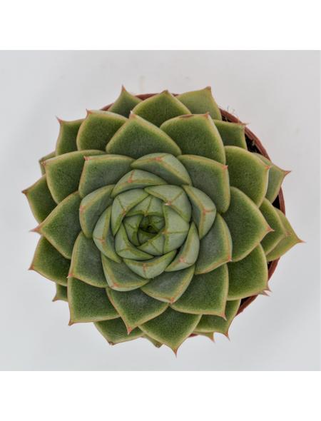 Echeverie Echeveria cv. »Fabiola«