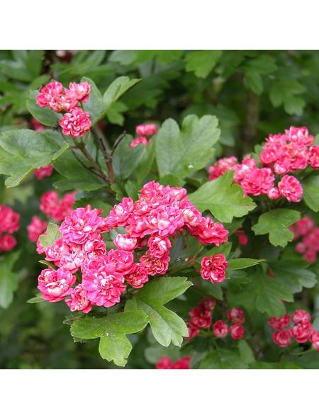 GARTENKRONE Echter Rotdorn, Crataegus laevigata »Pauls Scarlet«, rosa/pink, winterhart