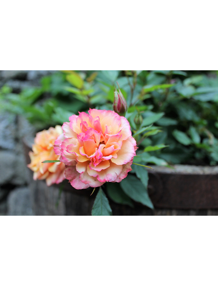 Edelrose  »Augusta Luise ®«, Rosa, Blüte: apricot