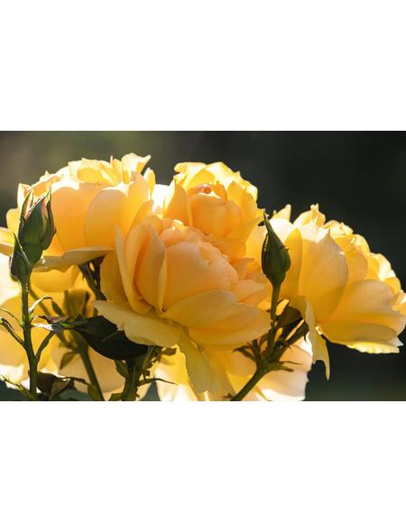 Edelrose »Candlelight®«, Rosa, Blüte: gelb