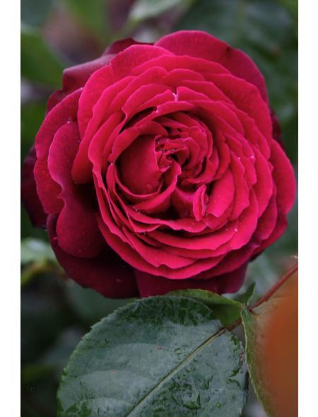 Edelrose »Gräfin Diana -R«, Rosa, Blüte: rot