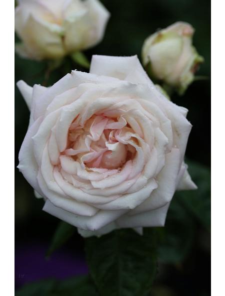 Edelrose »Madame Anisette ®«, Rosa, Blüte: blassrosa