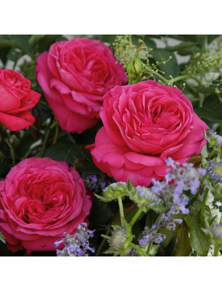KORDES ROSEN Edelrose , Rosa »Cherry Lady®«, Blüte: rosarot, gefüllt