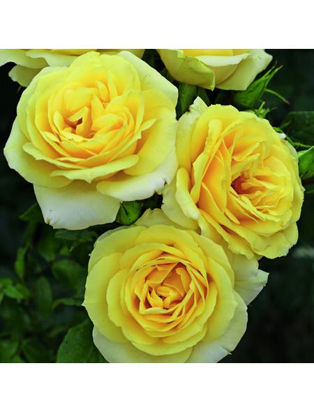 KORDES ROSEN Edelrose, Rosa »Limona®«, Blüte: hellgelb, gefüllt