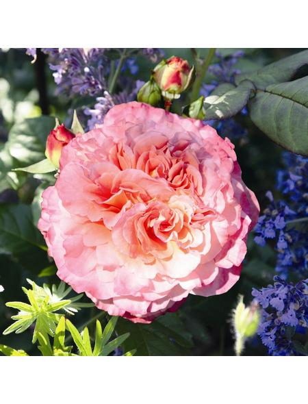 ROSEN TANTAU Edelrose, Rosa x hybrida »Augusta Luise«, Blüte: rosa, gefüllt
